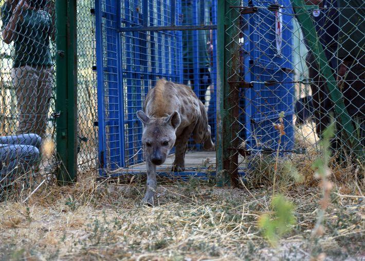 Cassie, die weibliche Hyäne, betritt ihr neues Gehe in New Hope, einem anderen Schutzgebiet im Jordan, ...
