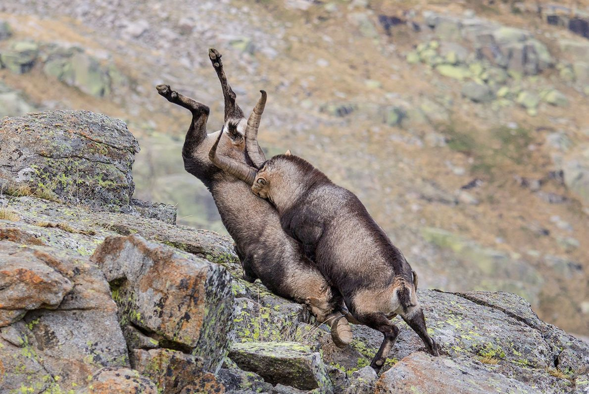 Zwei kämpfende Bergziegen