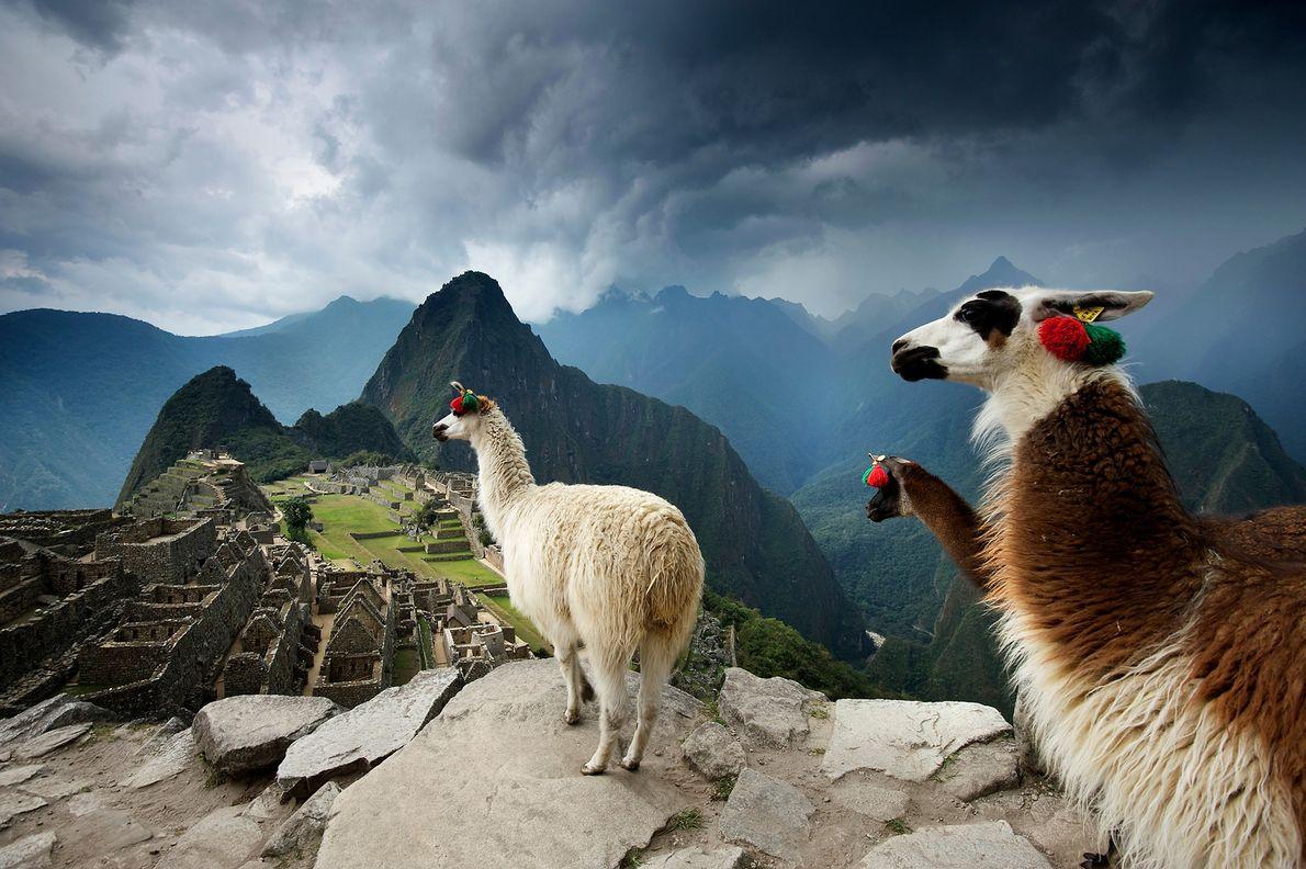 Lamas blicken auf die Landschaft mit den präkolumbianischen Inkaruinen von Machu Picchu in Peru hinab.