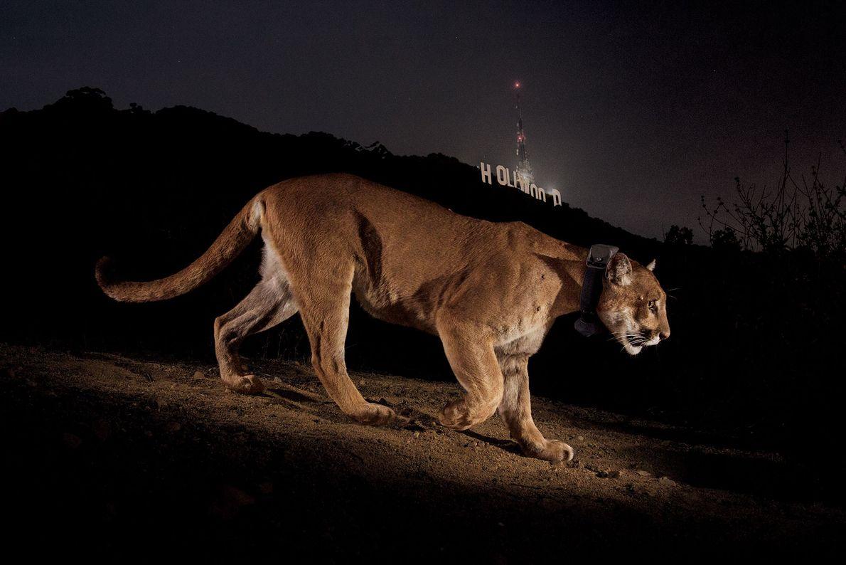 Eine ferngesteuerte Kamera nimmt im Griffith Park in Los Angeles, Kalifornien, einen Puma auf. Er trägt ...