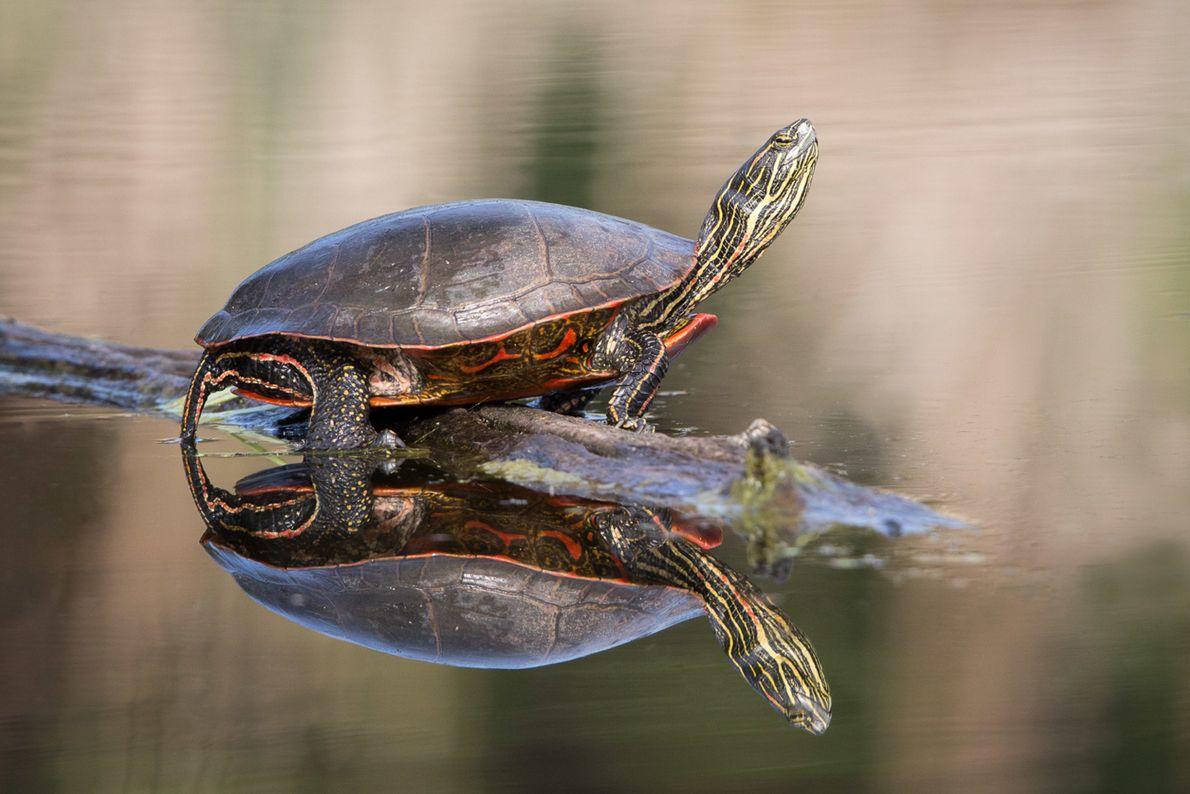 Zierschildkröte.