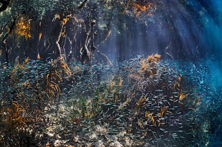 Schwärme von Jungfischen tummeln sich in den Mangroven von Belize, wo sie Schutz finden und wachsen ...