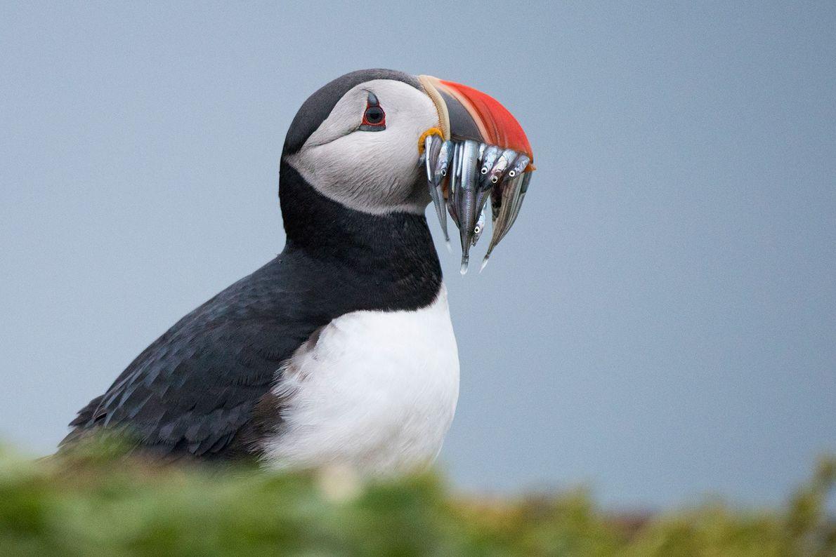 Papageitaucher mit einem Schnabel voll Fisch. Island