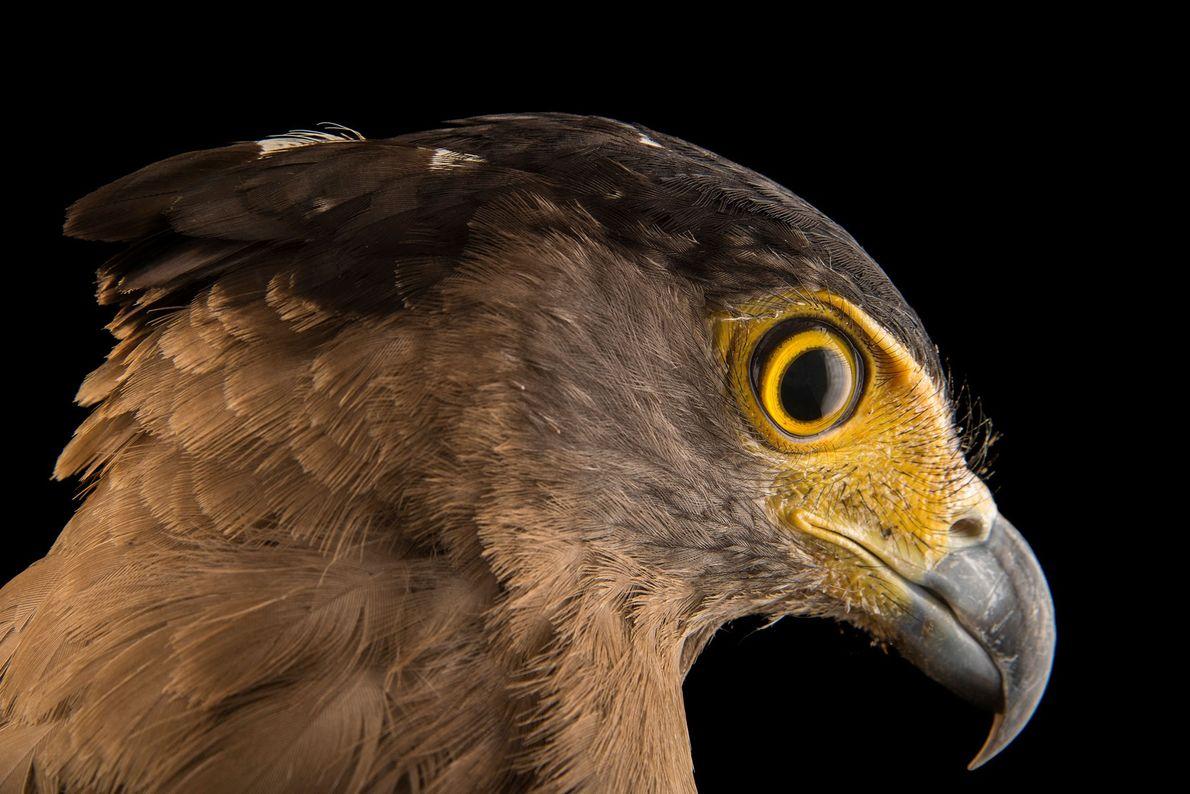 Ein weiblicher Madagaskarseeadler (Haliaeetus vociferoides) im Tsimbazaza Zoo. Die Art gilt als vom Aussterben bedroht und ...