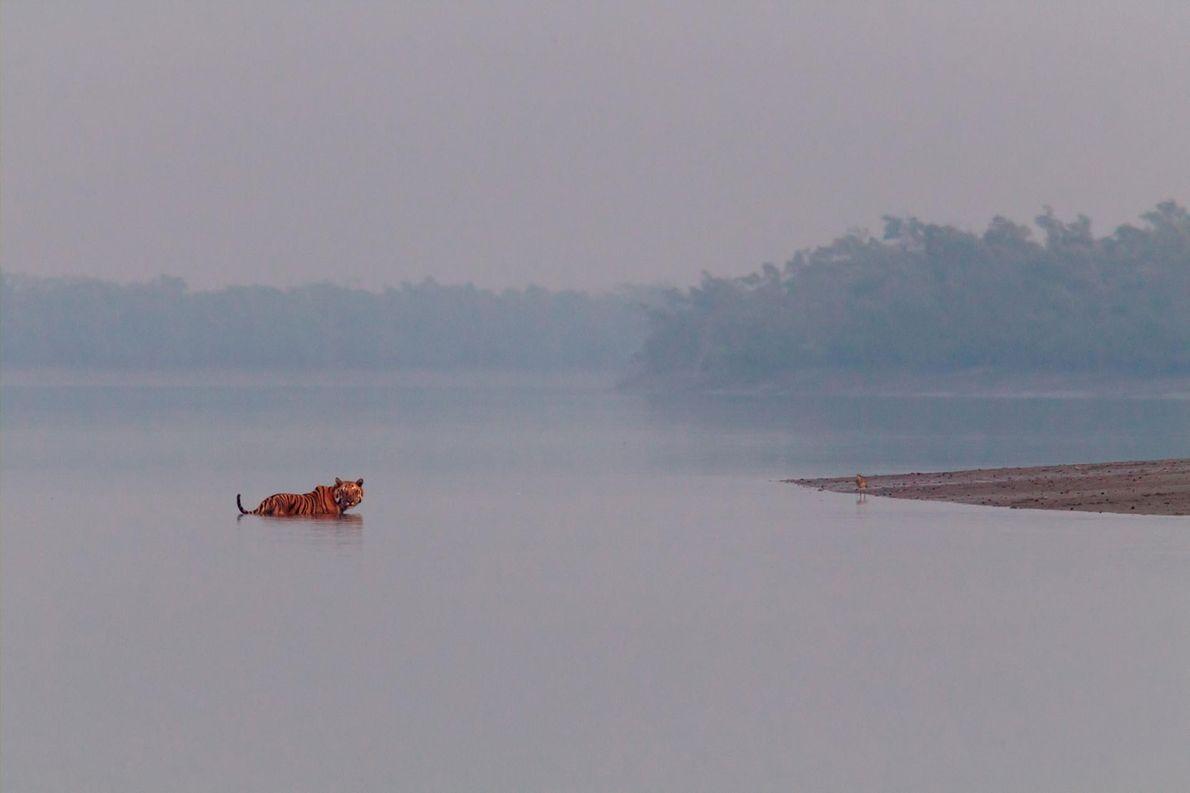 Bengalischer Tiger in einem Fluss