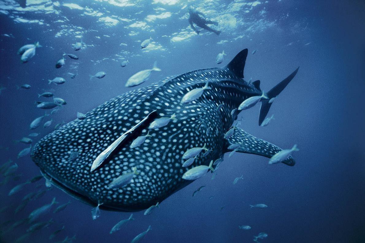 Taucher und gepunkteter Walhai