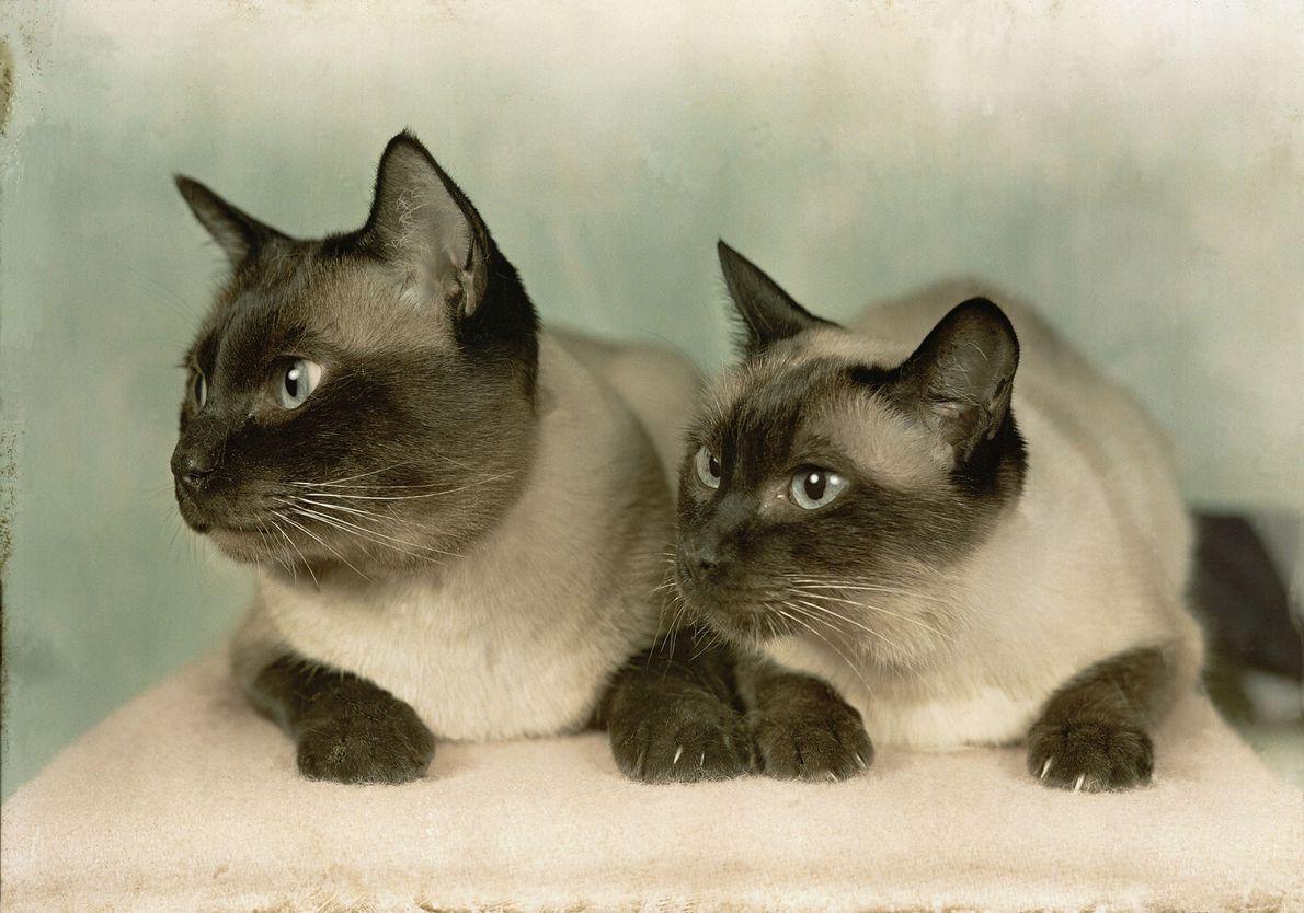 Zwei Siamkatzen
