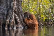 Die ungezügelte Ausbreitung von Palmölplantagen auf Borneo verschlimmert die Situation dieser vom Aussterben bedrohten Tierart. Der ...