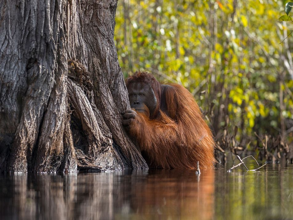 Orang-Utan-Porträt: Gewinner mit düsterer Geschichte