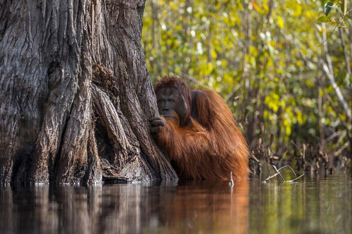 Orang-Utan. Nationalpark Tanjung Puting, Indonesien.
