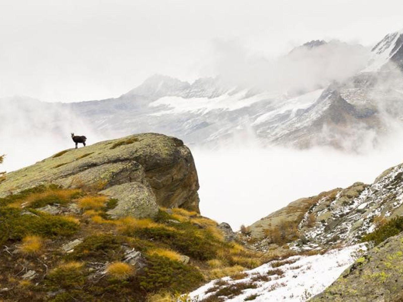 Eine Alpengams (Rupicapra rupicapra) steht vor einer Bergkulisse im Nationalpark Gran Paradiso im Aostatal, Italien.