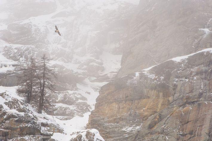 Ein Bartgeier (Gypaetus barbatus) schwebt über dem schneebedeckten Nationalpark Gran Paradiso.