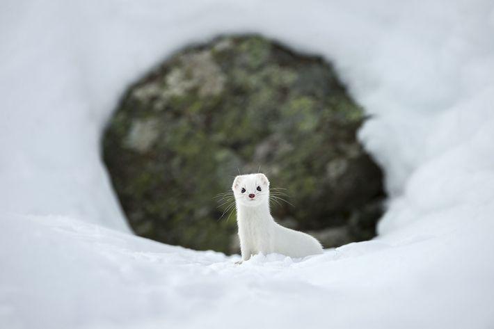 Bei kaltem Wetter bekommt das normalerweise rotbraune Hermelin sein weißes Winterfell.
