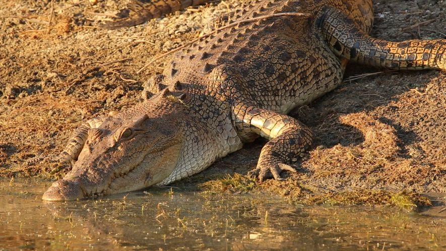 Video aus dem Inneren eines Krokodilmauls (exklusiv)