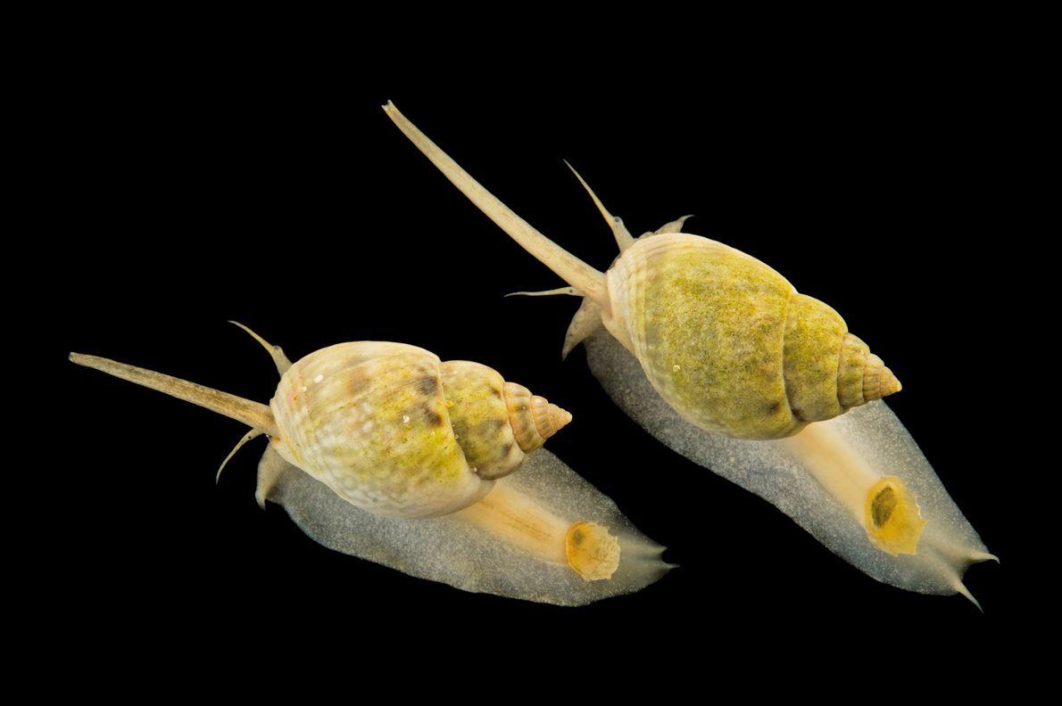 Nassariidae-Schnecke