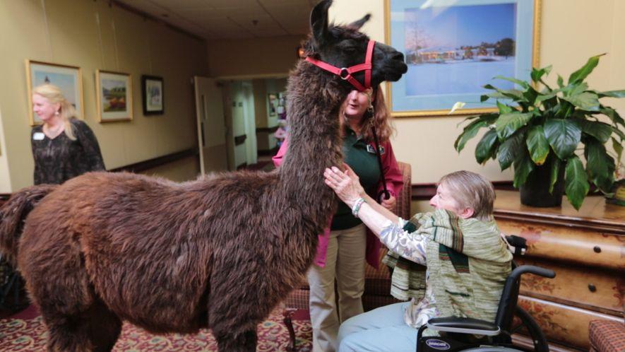 Ein Lama bringt Freude in ein Pflegeheim