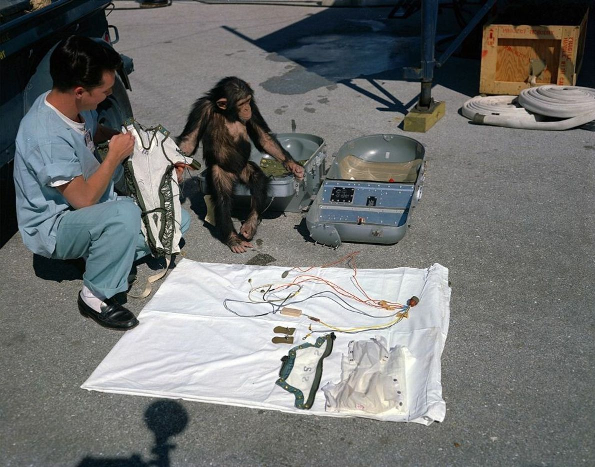 Ham – der erste Schimpanse im Weltraum – betrachtet seine Ausrüstung vor seinem Start im Jahr ...