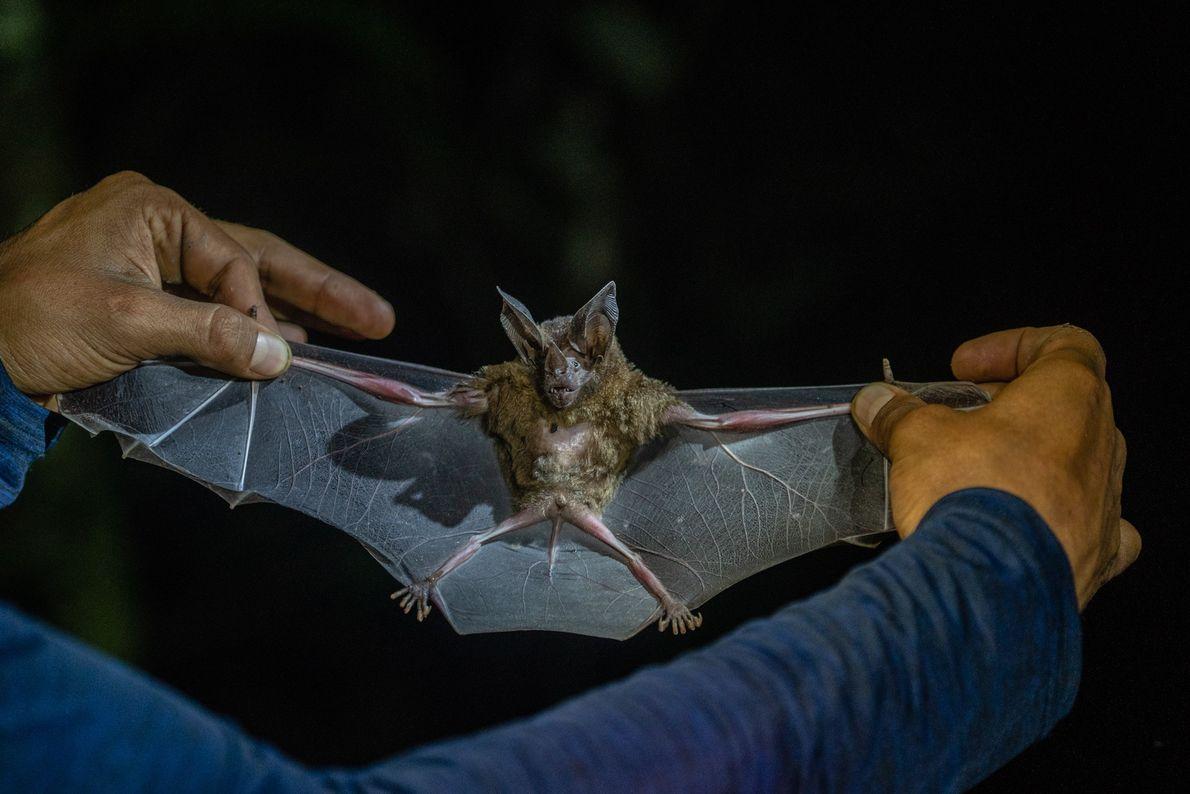 Fledermäuse zählen zu den bislang am wenigsten erforschten Säugetieren, obwohl sie für ihre Ökosysteme unverzichtbar sind.