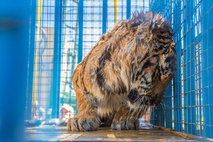 Viele der Tiere, darunter auch der Tiger Sultan, waren am Verhungern, dehydriert oder litten an schweren ...