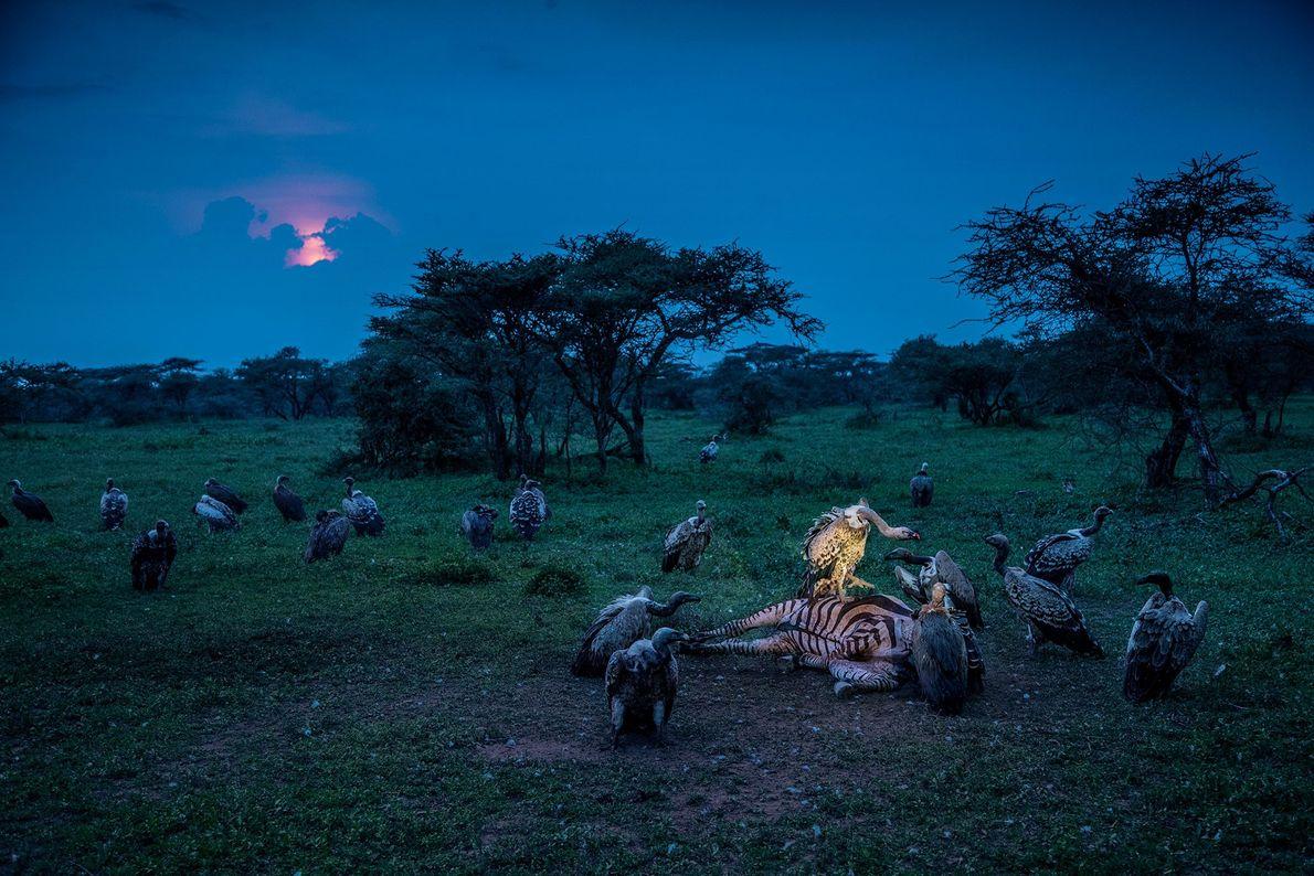 Sperbergeier und Weißrückengeier streiten sich im Serengeti-Nationalpark in Tansania um den Kadaver eines Zebras.