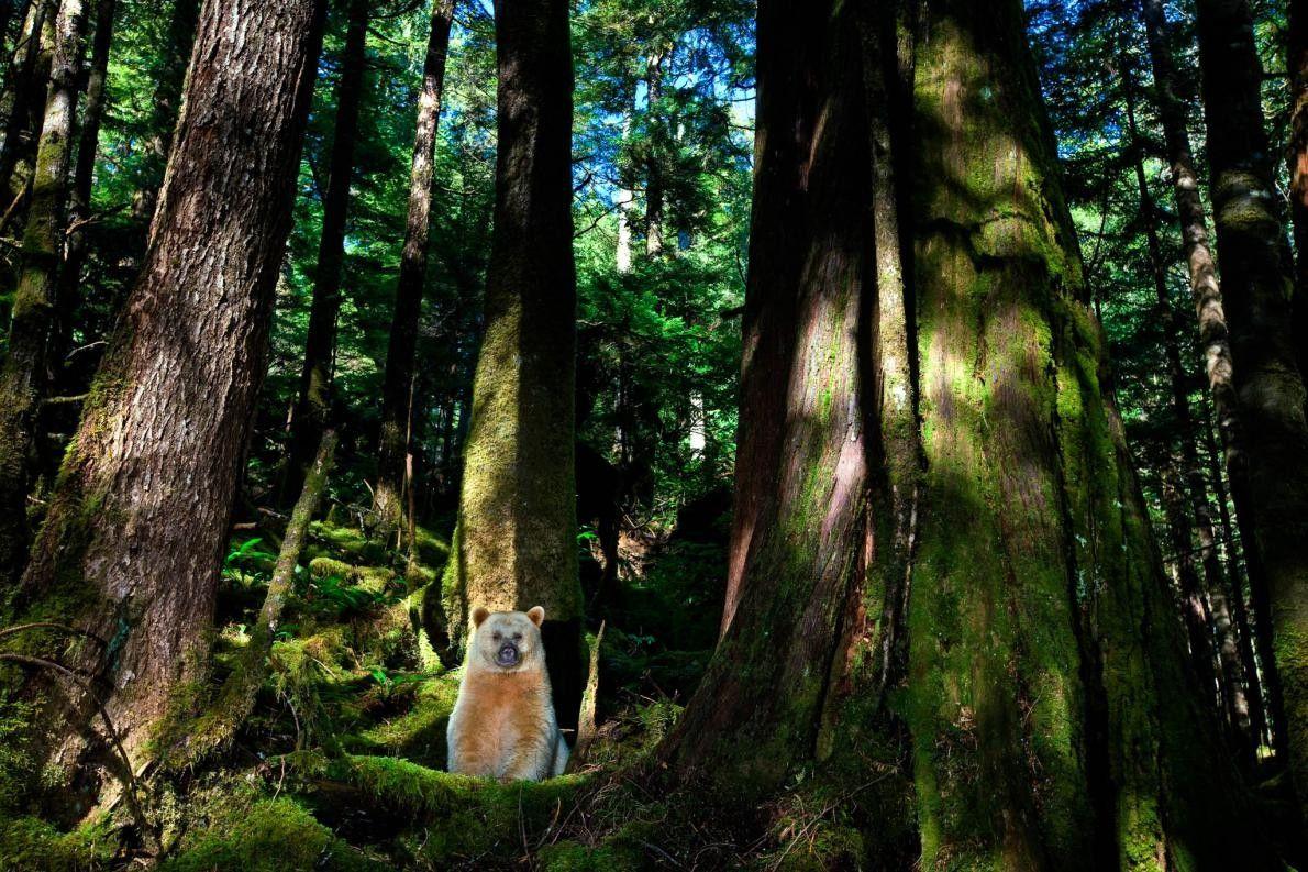 Kermodebär am Fuß eines Riese-Lebensbaums