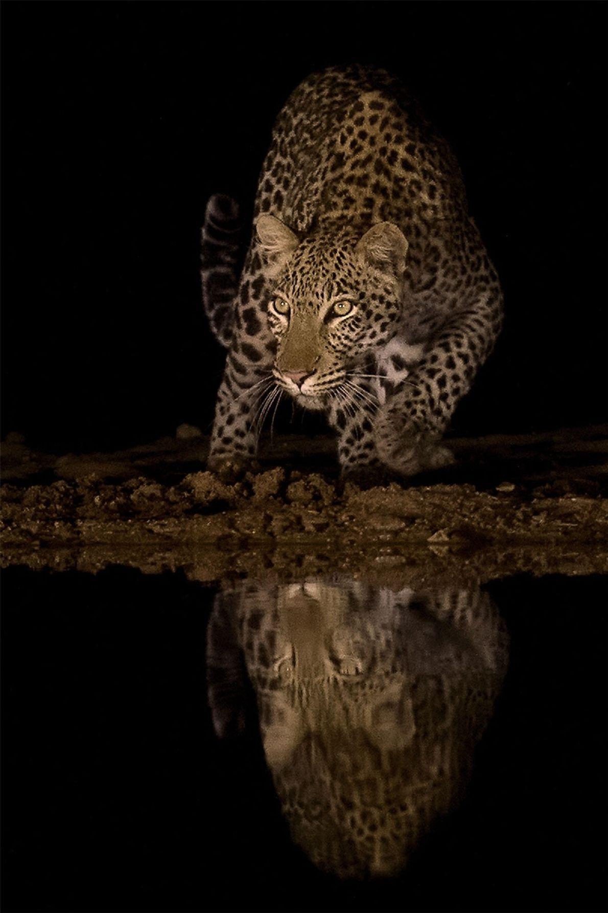 Leopard. Mkuze, KwaZulu-Natal, Südafrika.