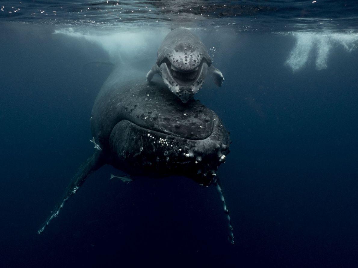 Ein Buckewal und sein Kalb schwimmen durch die Gewässer vor Tonga. Um in Tonga mit Walen ...
