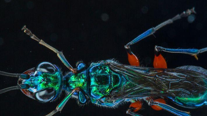 Wespen machen ihre Beute zu Zombies