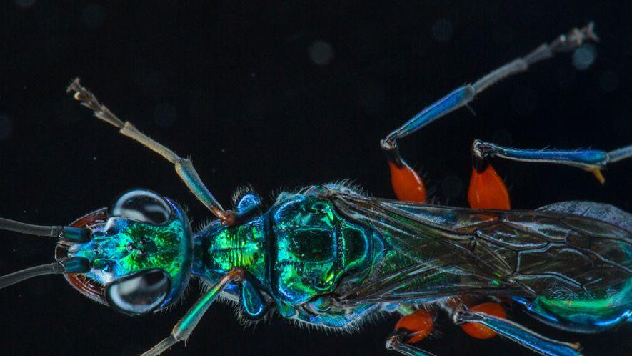 VIDEO |Wespen machen ihre Beute zu Zombies