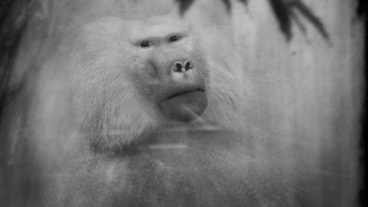 Hinter Glas: Intime Portraits von Primaten in Zoos