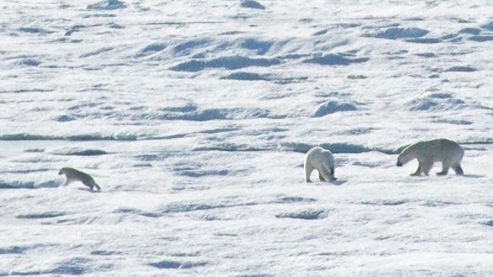 EXKLUSIV: Eisbärmännchen jagt und frisst Junges