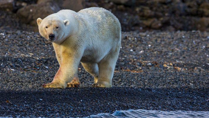 Video: Eisbär greift Nat Geo-Fotografen an