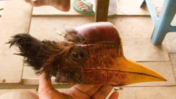 """Vögel wegen ihrer elfenbeinartigen """"Helme"""" vom Aussterben bedroht"""