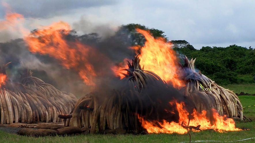 Größte Verbrennungsaktion: 105 Tonnen Elfenbein zerstört