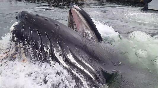 Nahaufnahme: Buckelwal taucht an Bootssteg auf