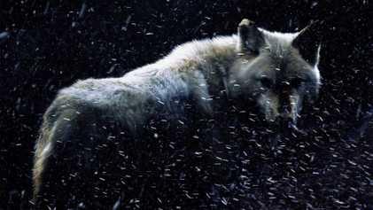 Dire Wolves/Schattenwölfe: Gibt es so was?