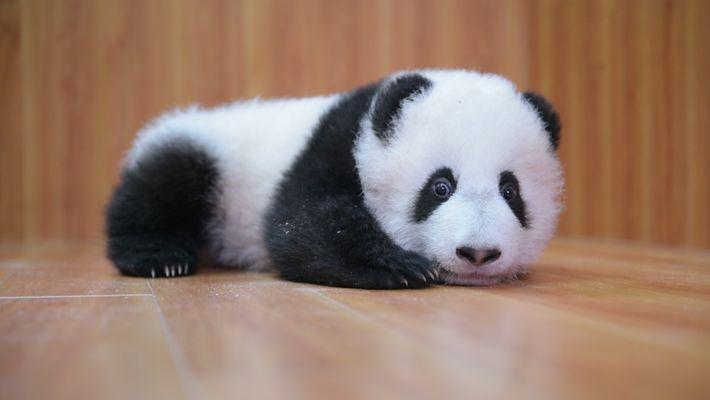 Die Aufzucht niedlicher Pandas: Ganz schön kompliziert