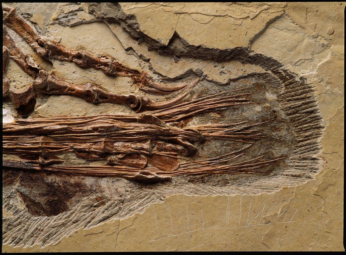 Diese Nahaufnahme zeigt den Schwanz des chinesischen Dinosauriers Sinornithosaurus millenii aus der frühen Kreide. Der gefiederte ...