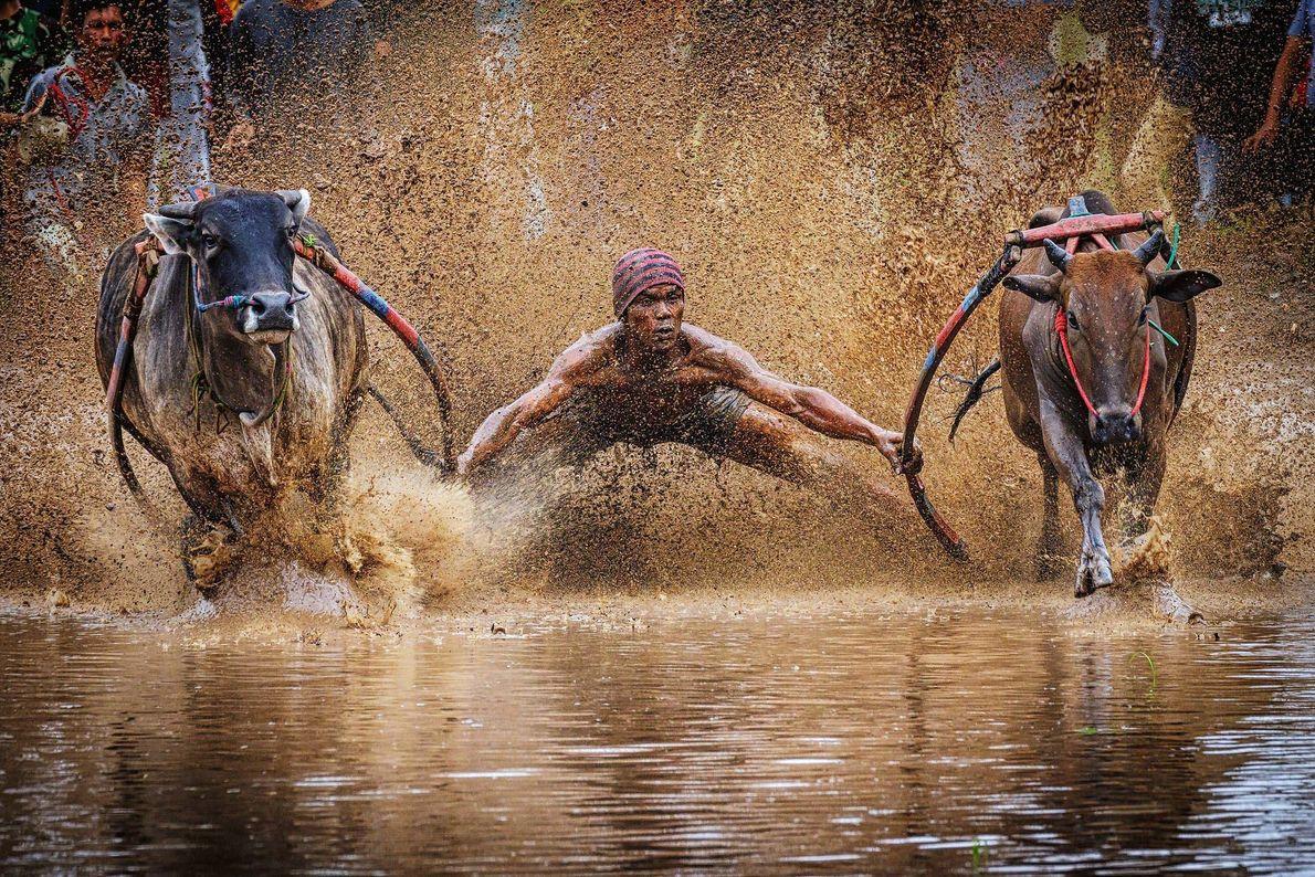 Beim indonesischen Bullenrennen Pacu Jawi werden zwei Bullen aneinander gespannt. Der Jockey steht auf dem Pflug ...