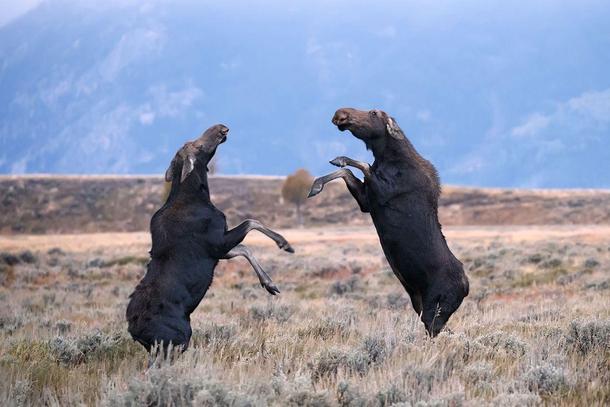 Kämpfende Elche