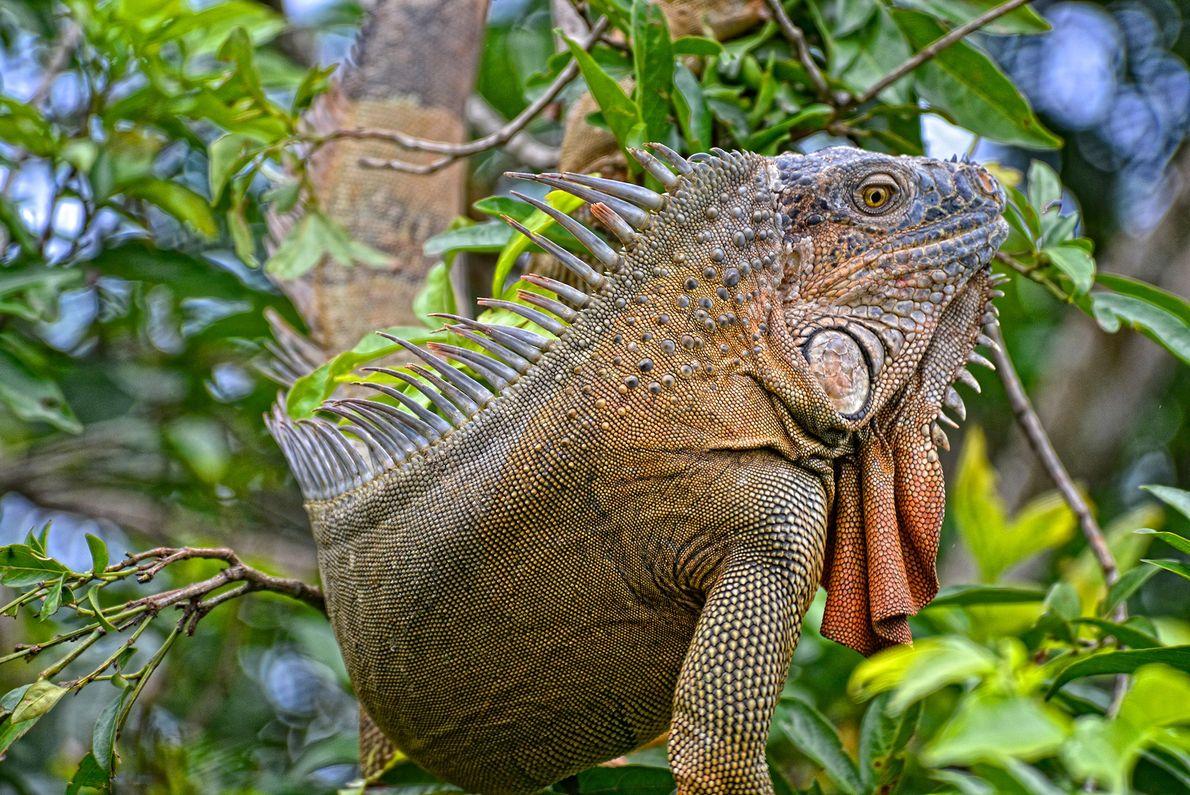 Ein Grüner Leguan sucht in Costa Rica die Baumkronen nach Früchten ab.