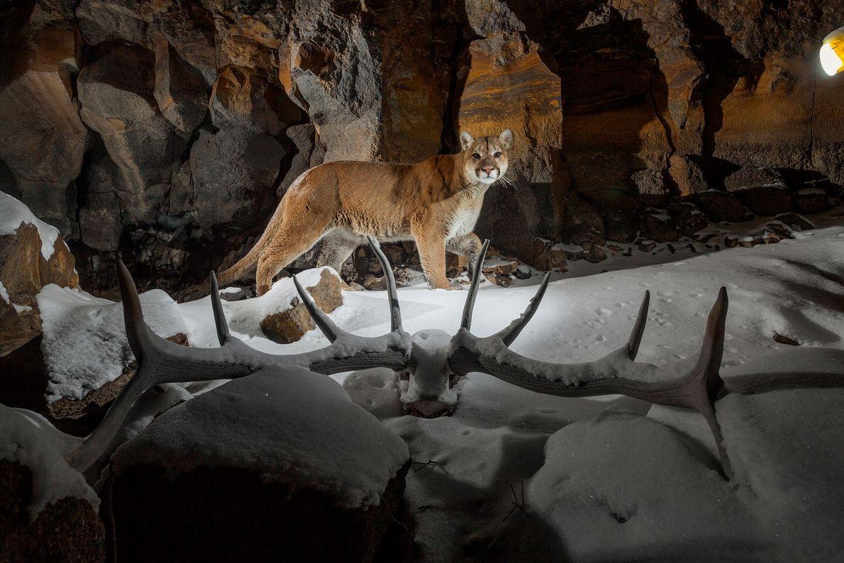 Eine Kamerafalle lichtet einen Puma auf der Pirsch ab, der durch Everett's Ridge im Yellowstone-Nationalpark in ...