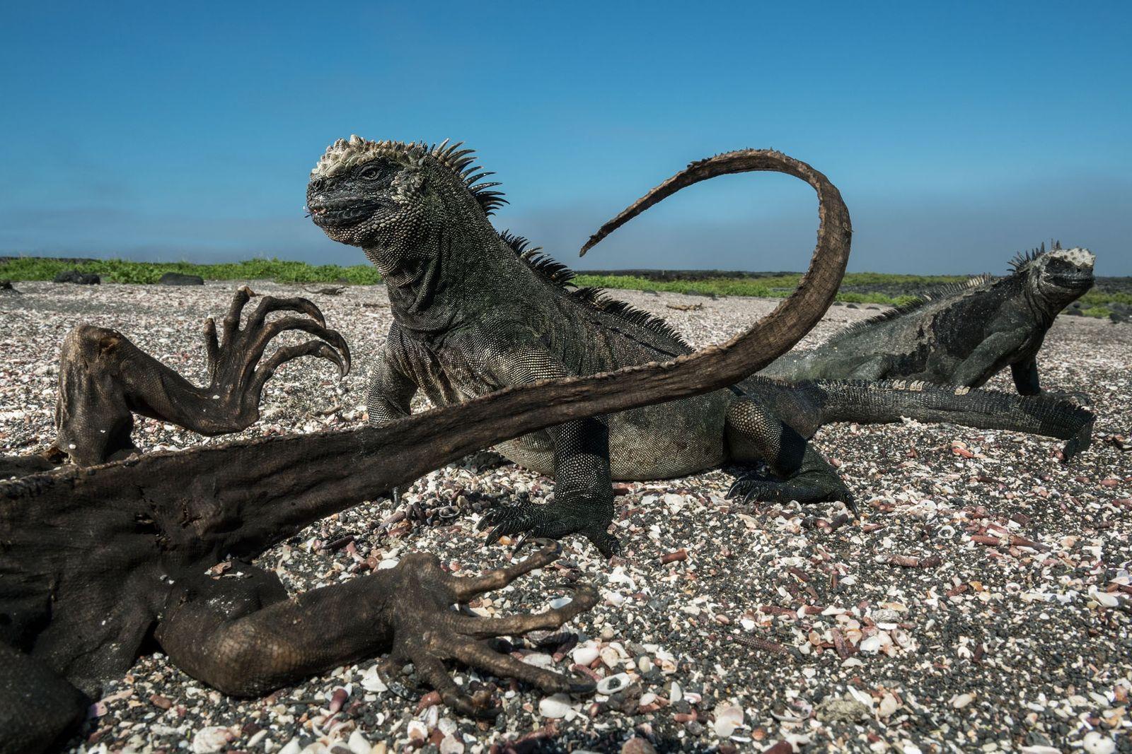 Diese beiden Meerechsen sind scheinbar unbeeindruckt von der Gegenwart ihres mumifizierten Artgenossen. Dieser verhungerte vermutlich auf ...