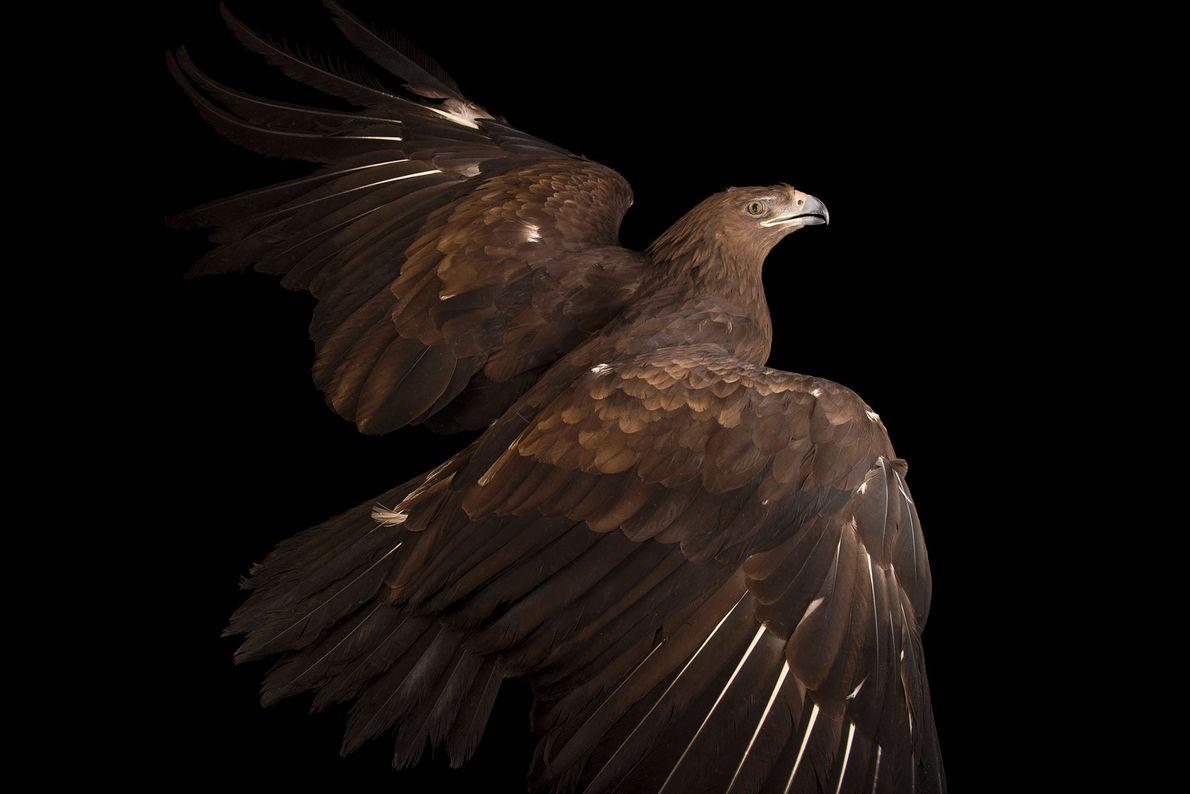 Ein Schelladler (Aquila clanga) im Zoologischen und botanischen Garten der Stadt Pilsen. Diese großen Zugvögel gelten ...