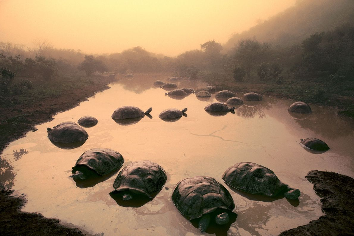 Auf den Galapagosinseln sitzen ein paar Riesenschildkröten in einem See am Schildvulkan Alcedo.