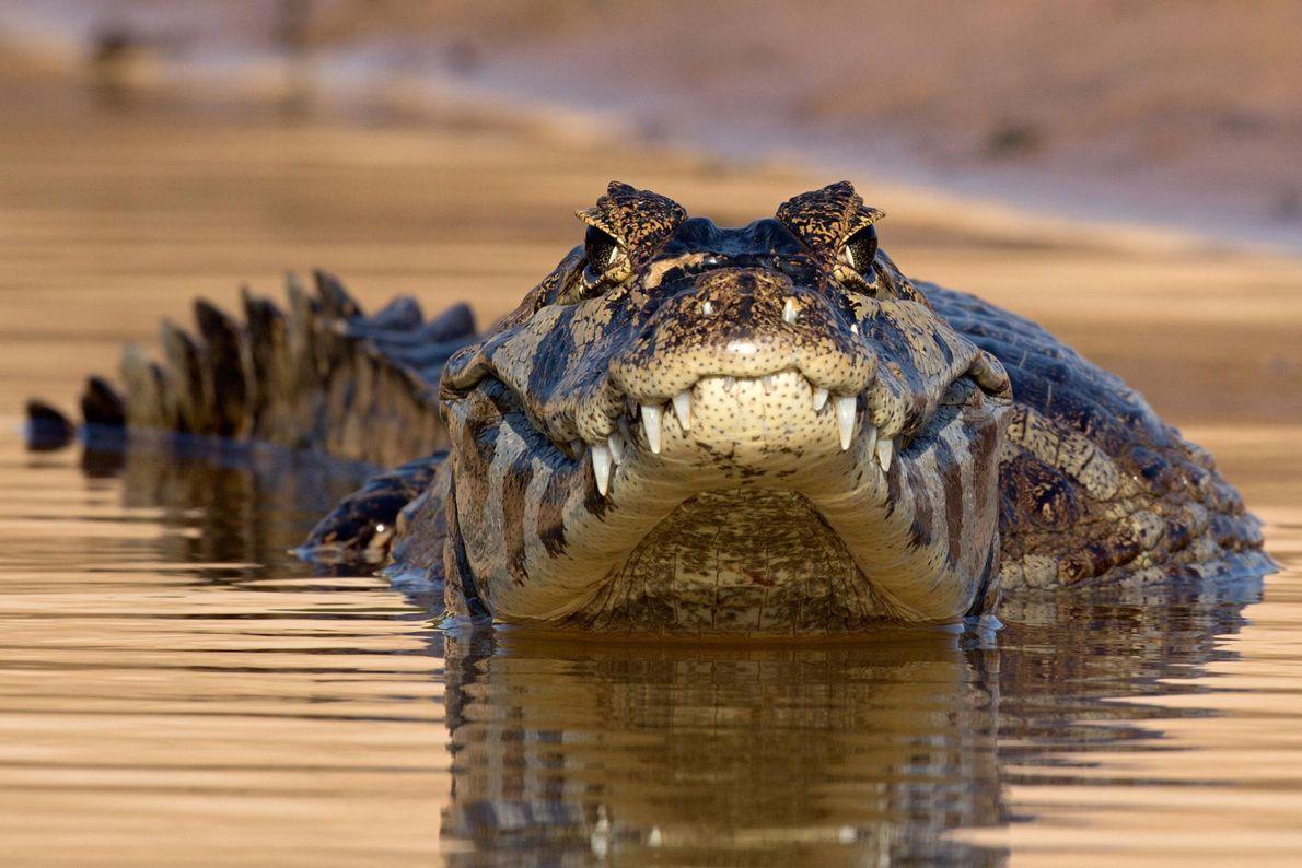 Brillenkaiman. Pantanal, Mato Grosso, Brasilien