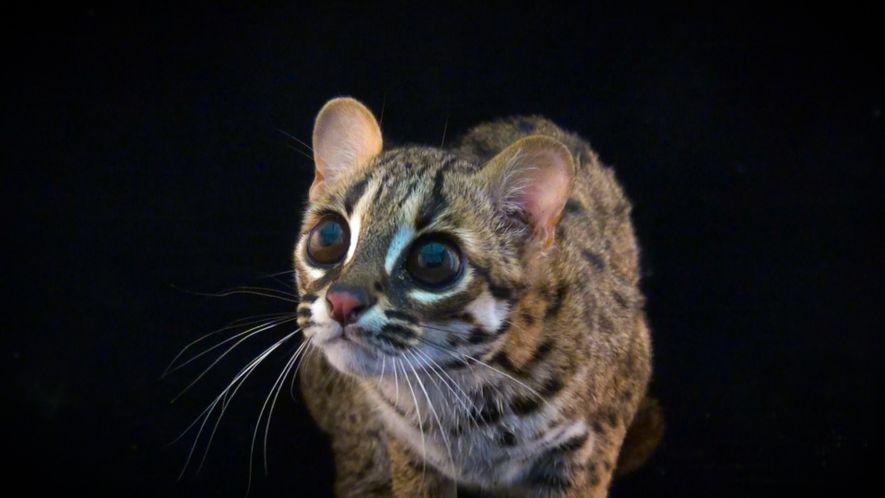 Fotoarche: Seltene Katzenarten