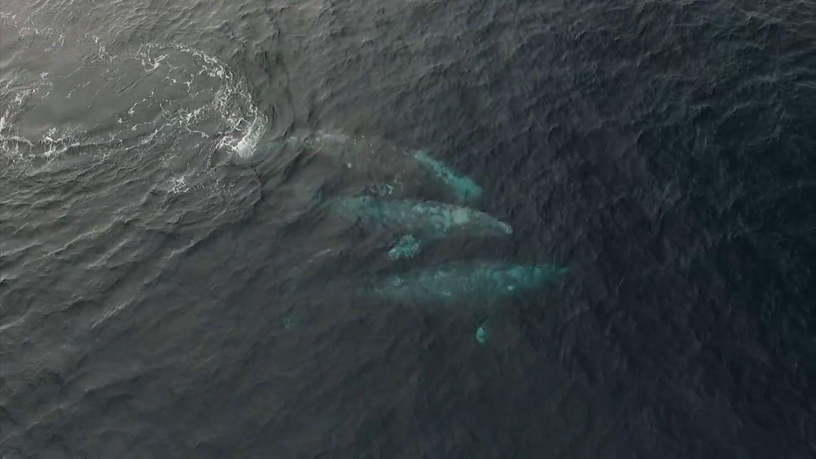 Diese drei Wale vollführen ein komplexes Paarungsritual