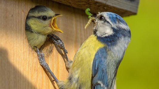 Meisensterben: Neue Erkenntnisse durch große Vogelzählaktion?