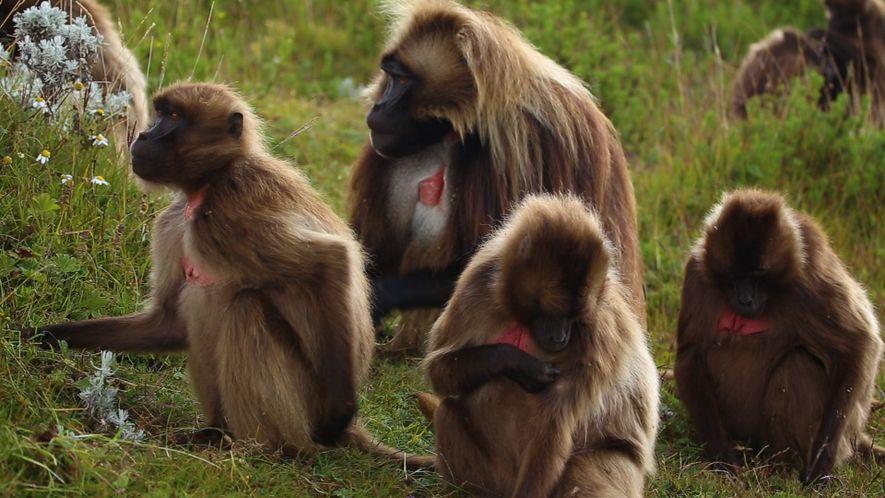 Das Leben der Affen im äthiopischen Hochland im Zeitraffer